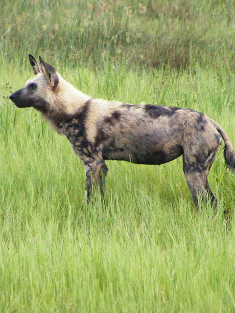 See You In Africa - Wild Dog