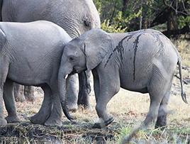 Royal Chundu Zambezi Elephants