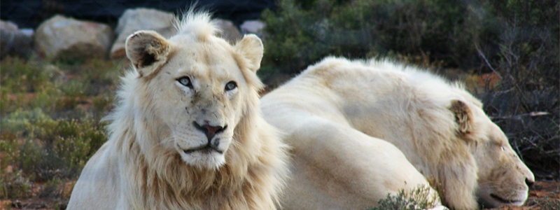 Global White Lion Trust - See You in Africa South Africa charities